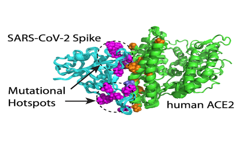 An infographic showing a computational model of mutations on SARS-CoV-2's spike protein.